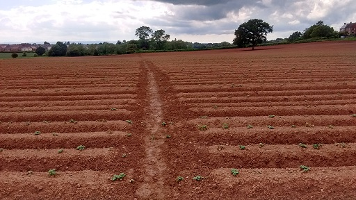 HO13 ploughed but path re-established